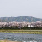 久世桜まつり(3月下旬〜4月上旬)